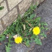 アスファルトに咲く花のように…
