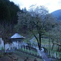 4月18日 根尾 朝の薄墨桜