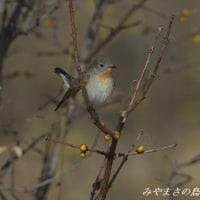 今日の鳥コレクション・・・ニシオジロビタキ