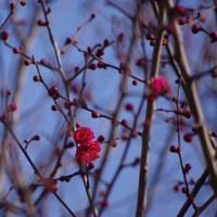 職場体験と紅梅の開花宣言