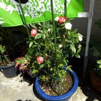 店前の鉢植えのバラが可愛らしく開花・・・長女が小学校卒業式にもらった切り花のバラも、挿し木で生き延びて、まだ健在です。
