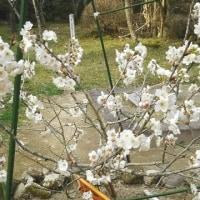 出会い桜、満開です!