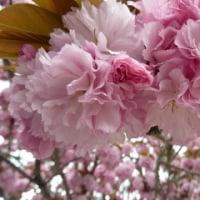 本・俳人名言集と八重桜とかりんの花