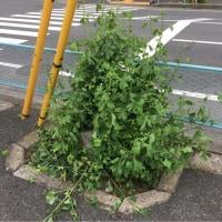 オサンポ walk - ひこばえ (銀杏) tillers(ginkgo)