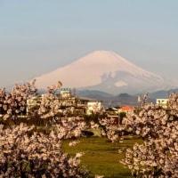 28/Mar 朝の桜と富士山、ガビチョウとコゲラちゃんと星の瞳