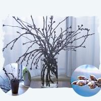 開花が楽しみなサクラの小枝(サクラNo1)