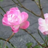 黄色のシンビジウムと冬の淡いピンクのバラ