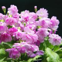 【花の詩】「サクラソウ」(桜草)