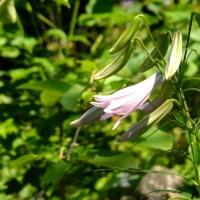 ナツツバキ、ヒメシャラ 季節の花