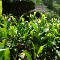 茶摘み体験が始まっております。