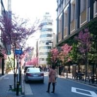 日本橋の裏道りで桜が咲いていました。