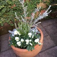 冬の白い寄せ植え