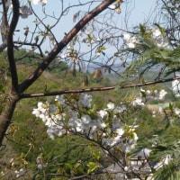 高津子山の桜