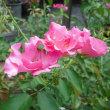 ピンクが映える バラのプレイガール
