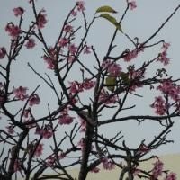 二階のベランダで以前目白の写真を撮ったけれども、桜と小鳥達です!