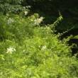 林縁の斜面にヤマユリの花がいくつも