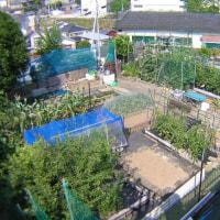 ピーマン、ししとう、パプリカ栽培、収穫を始めた、菜園の様子