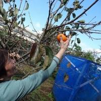 果樹園の柿&みかんを食べてみました