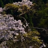 渓流に咲くー「安曇川」