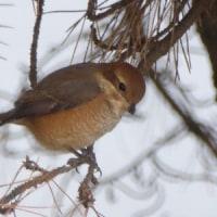 今季のMF、小さな猛禽類が小鳥を狩るかも