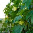 夏盛り花盛り 三河地綿の花    竹島クラフトセンター