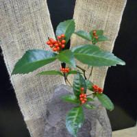 趣味の店 万年青(おもと) センリョウの赤い実が、お正月を感じさせてくれます。