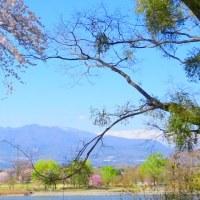 上州赤城山の麓・・・桜満開の大室公園で・・・ヒレンジャクがお花見してた