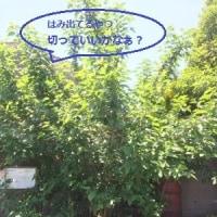 5/19(金) グリンピース撤収 & 思いがけない収穫! & 里芋発芽他