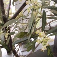 オリーブの花満開