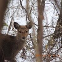 ついに鹿を見かけました