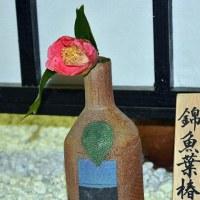 ツバキ 「錦魚葉椿」