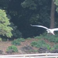 東京都中央区の東京都立浜離宮恩賜庭園の潮入りの池には、ヒドリガモが飛来しています