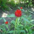 夏で威力発揮 千日紅の花