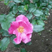 今年の開花一番乗り バラのプレイガール