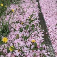 牡丹桜の落花