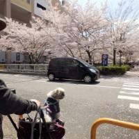 桃塚しんへ花見に~& フィラリア予防薬・フロントラインを受け取りに。