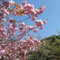 今春の桜の見納め
