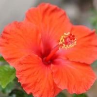 庭の花・ハイビスカス