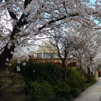 2017☆桜