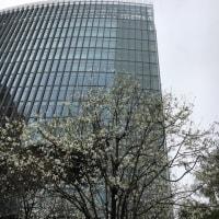 桜咲き始めた都内🌸