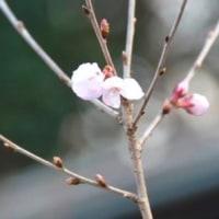 コヒガンザクラ・開花・3.22