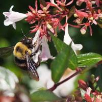 アベリアで ミツバチ / トラマルハナバチ / クマバチ