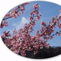 限界集落 無人駅の桜