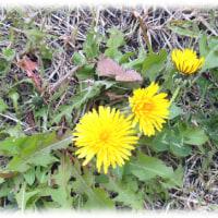 春の陽だまりの花が(^^♪もう咲き始めていた「幸福を知らせる花」タンポポ(蒲公英)