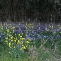 菜の花と花大根