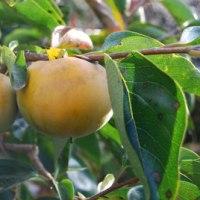 少しずつ色づいてきた庭の果実