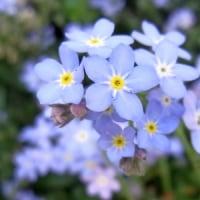 4/19 ビバーナム・ティヌスが、咲きました。