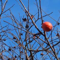 久しぶりに木守柿を見て