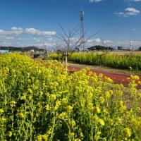 五ヶ瀬川_堤防の 菜の花ロード ~ 南国宮崎は 一足早い春です。