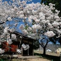 4月18日 桜満開